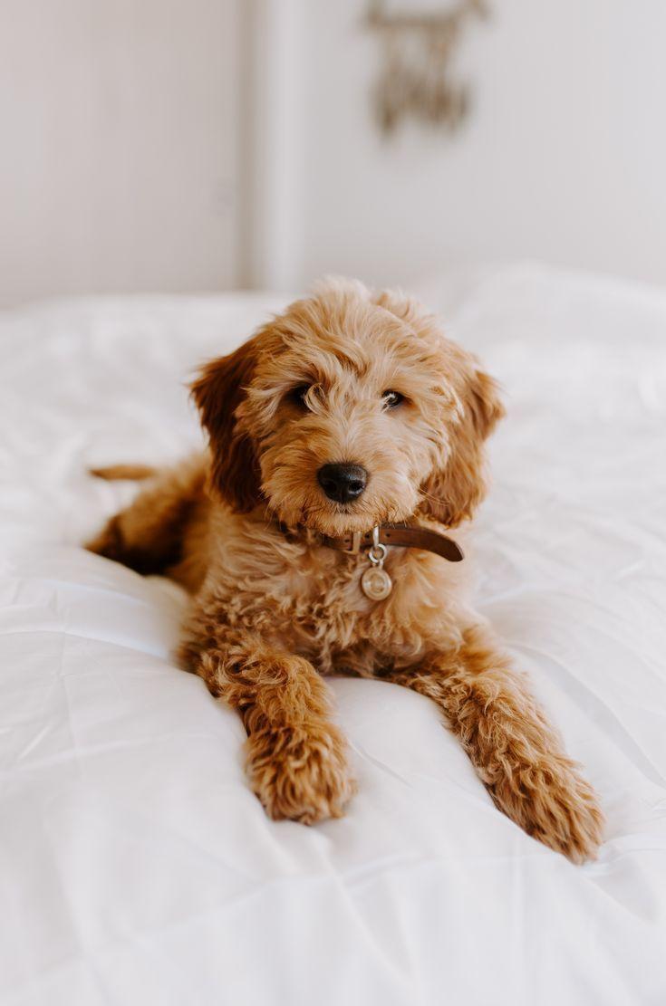 Login Awww Cuddle Cute Lovable Puppies Puppy Pups Puppies Puppy Cute In 2020 Goldendoodle Puppy Cute Pug Puppies Cute Baby Animals