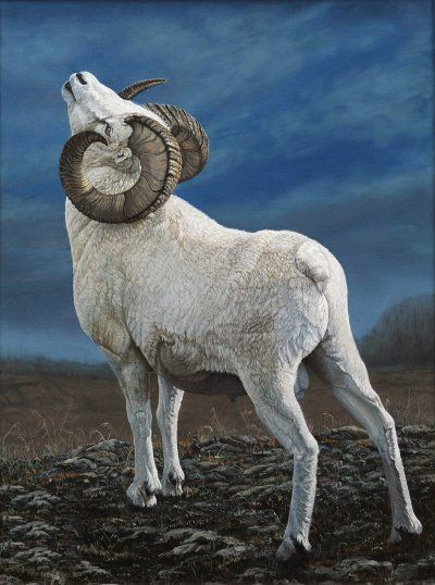 Dall Sheep Ram Fuzzies Feathers Amp More Animals Sheep