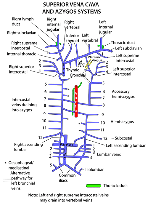instant anatomy - thorax - vessels - veins - azygos system | study, Human Body