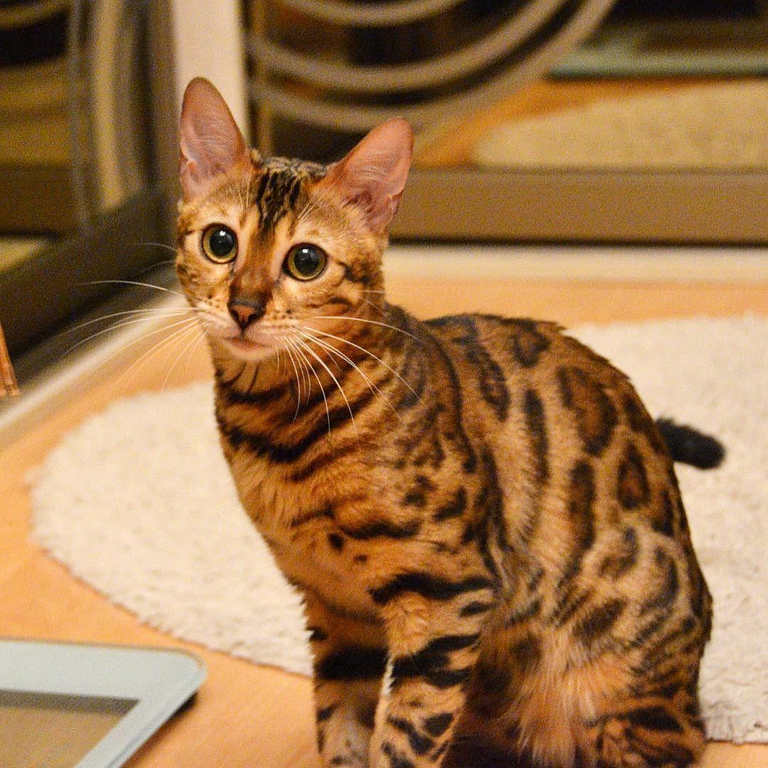 My Face When I Want Humans To Play With Me Simbathebengal Com Simbabengal Toyger Cat Bengal Cat Simba