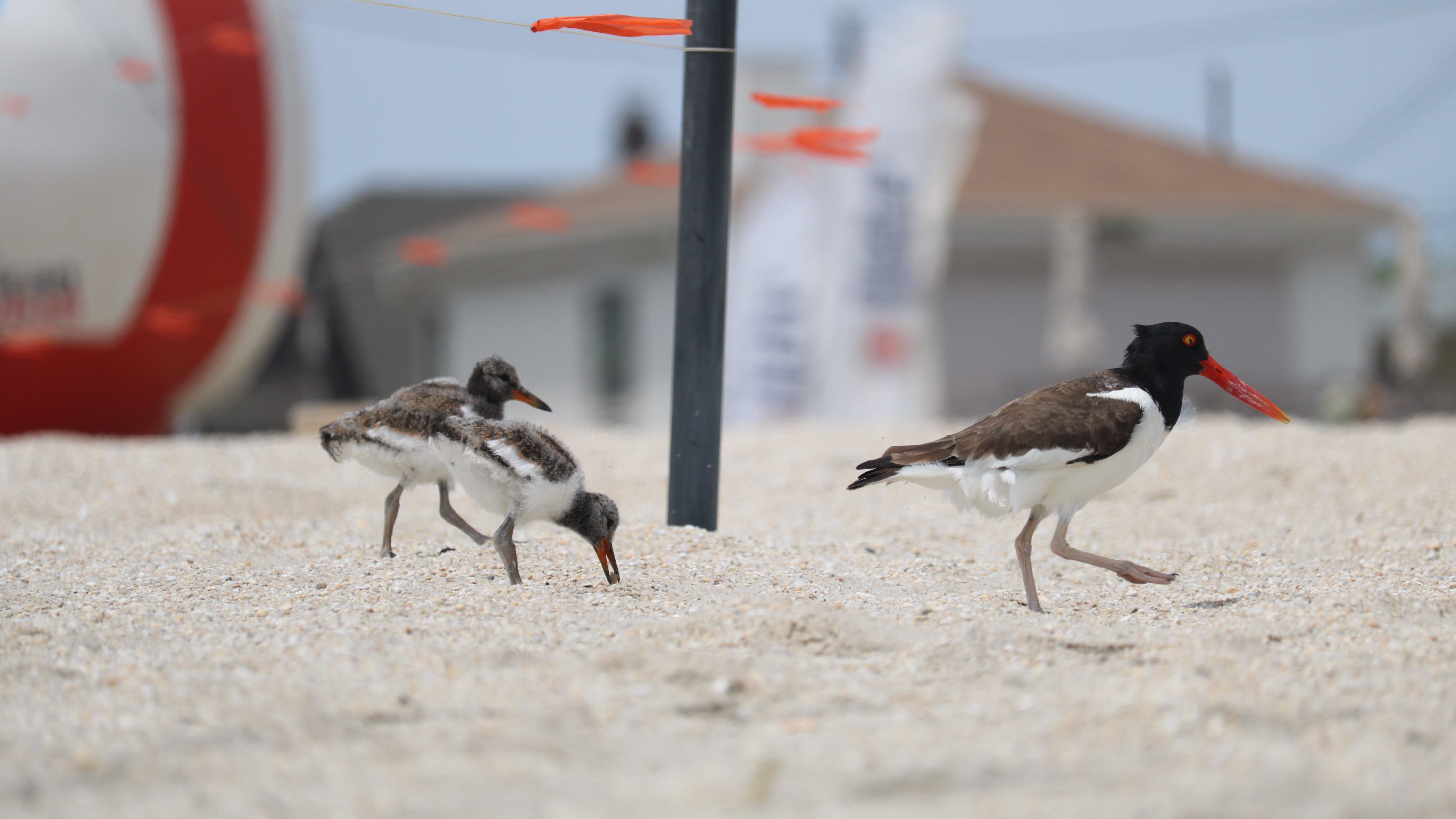 Three protected species of shorebird have made a busy
