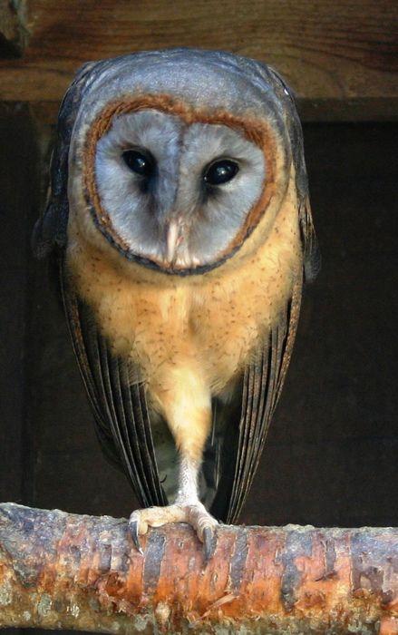 owls are so pretty!