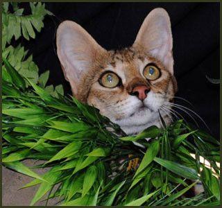 F1 F2 F3 F4 F5 Savannah Cats For Sale Kitten Breeders Tx
