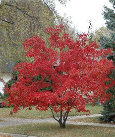 Acer Ginnala Flame Amur Maple Native To Siberia Hardy To Zone 3