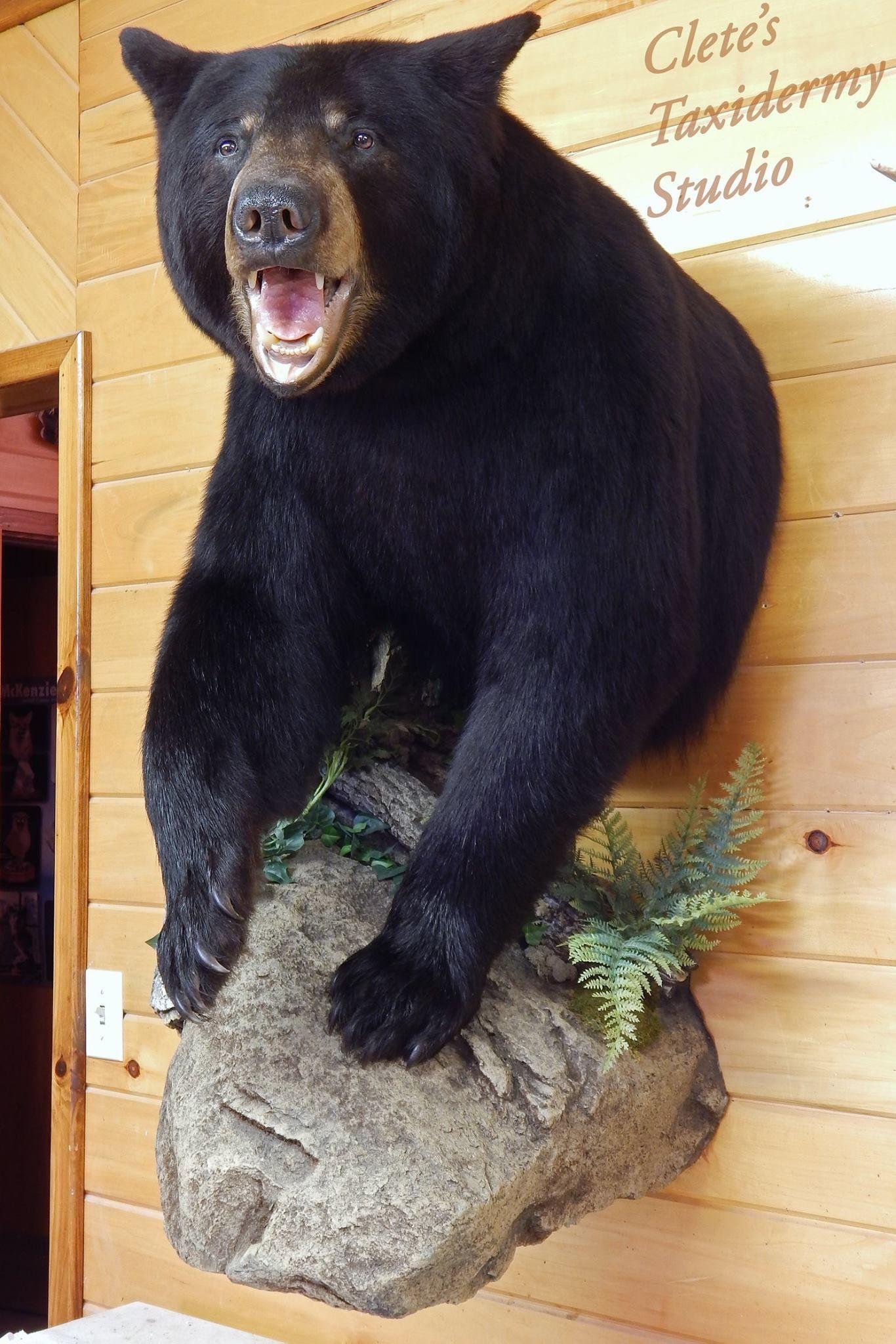 Clete S Taxidermy Studio Hunting In 2019 Bear Mounts
