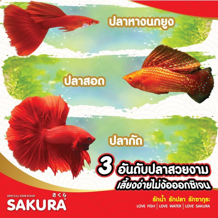 Sakura Gold ในป 2021 ปลาหางนกย ง