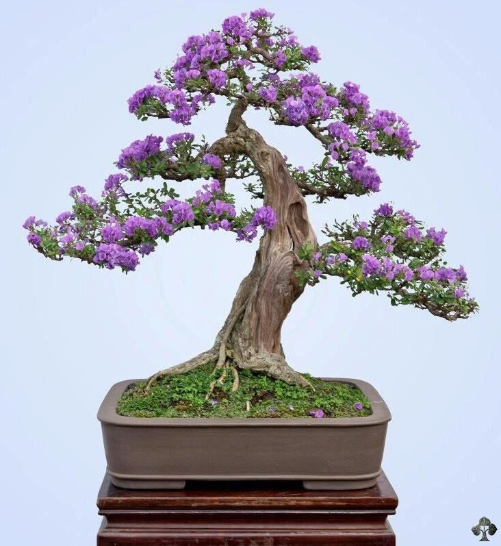 Bonsai amazing bonsai trees pinterest kleine b ume - Bonsai zimmerpflanze ...