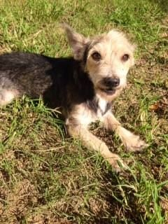 Percy Is A 3 Year Old Male Yorkie Mix Looking For His Forever Home He Is Available For Adoption Through Texas Star Rescue In Longvi Dog Adoption Yorkie Mix