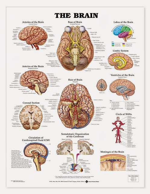 awesome : Brain Anatomy And Function #anatomy #and #brain #function ...