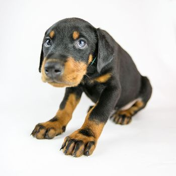 Backing Music For Doberman Puppies Videos By Doberman Music With