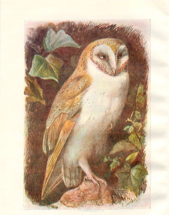 Antique Owl Illustrations Google Search Vintage Bird Illustration Bird Illustration Bird Prints