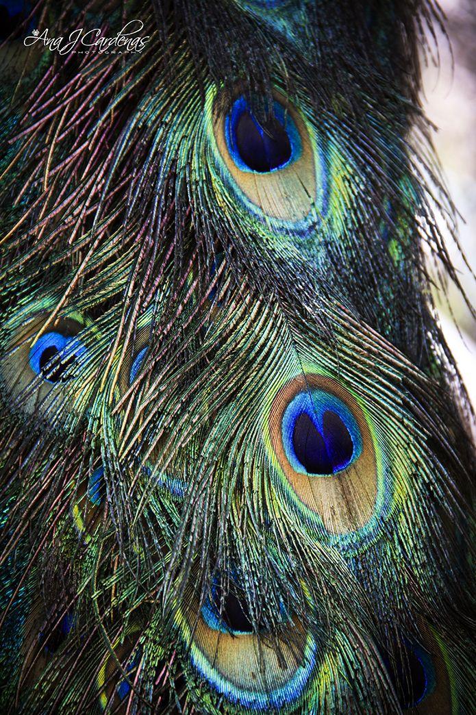 Los colores del pavo real   Horses, Animals, Birds