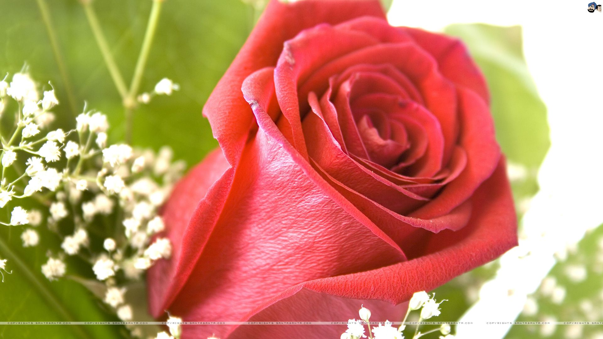 thread: beautiful roses wallpaper download | oh how i love roses