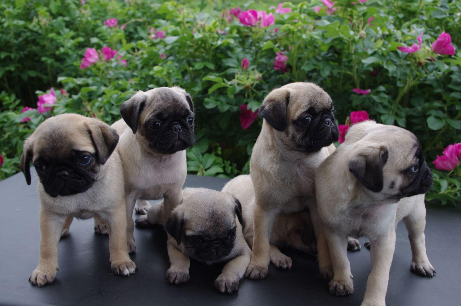 Pug Wallpaper Screensaver Background Cute Pug Puppies