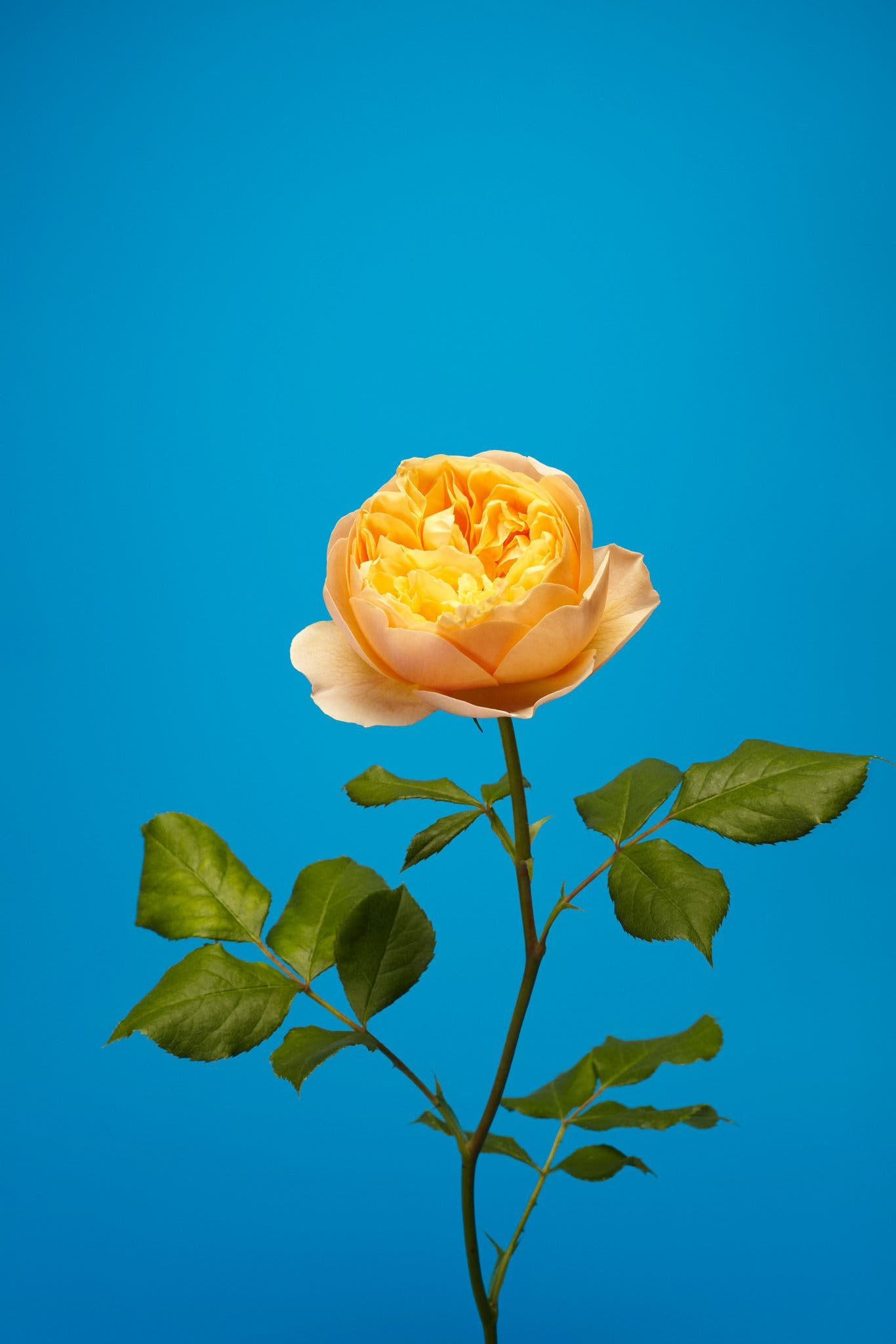 One Photographer's Tribute to English Roses English