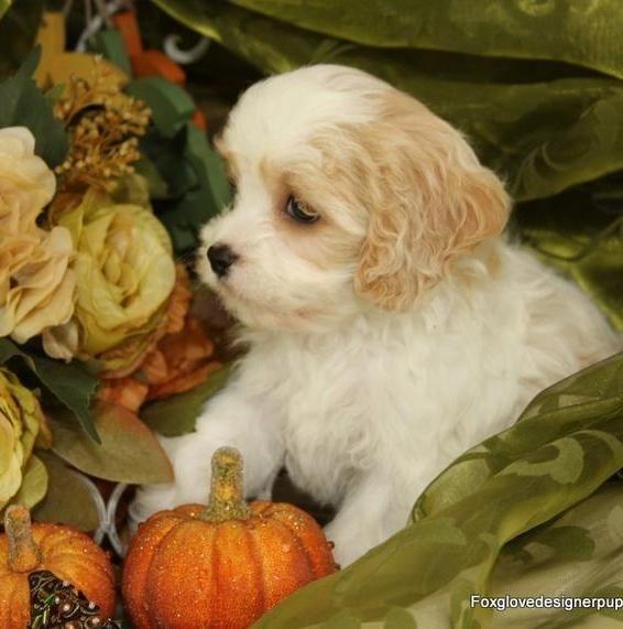 Foxglove Designer Puppies Cavachon Puppies Cavachon Puppy Friends