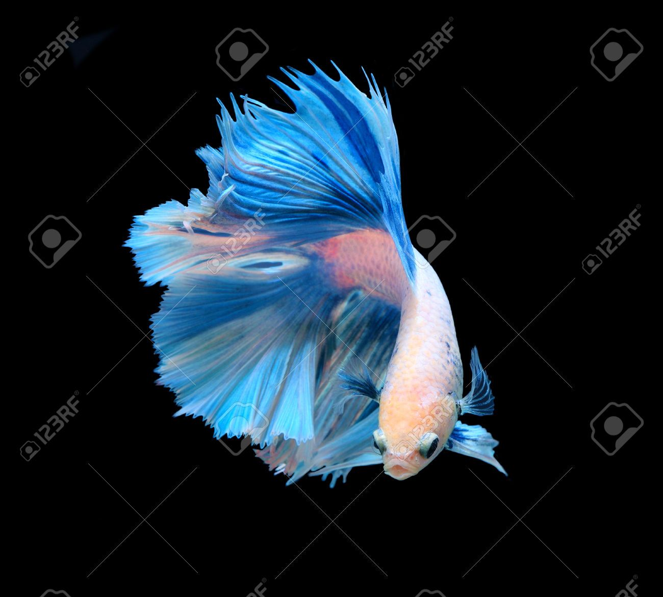 how to play with betta fish