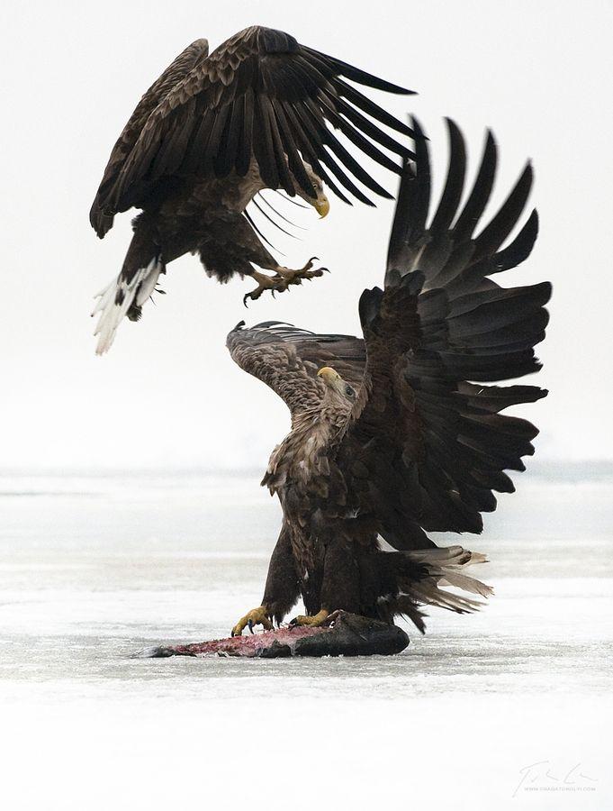 Aerial Assault. Photo by Csaba Tökölyi   Birdwatch   Pinterest ...