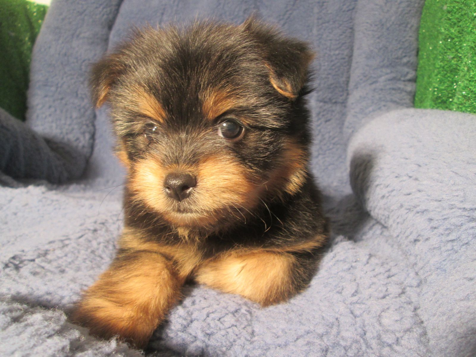Unique Yorkiepom Puppies Available Yorkie X Pomeranian 8 12 Weeks Of Age Permanent Shots And Wormings Completed Along With Microchipping We Offer Ex