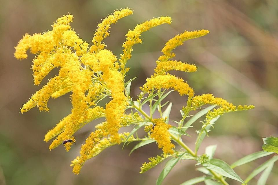 Goldenrod Native Plants Plants Yellow Flowers