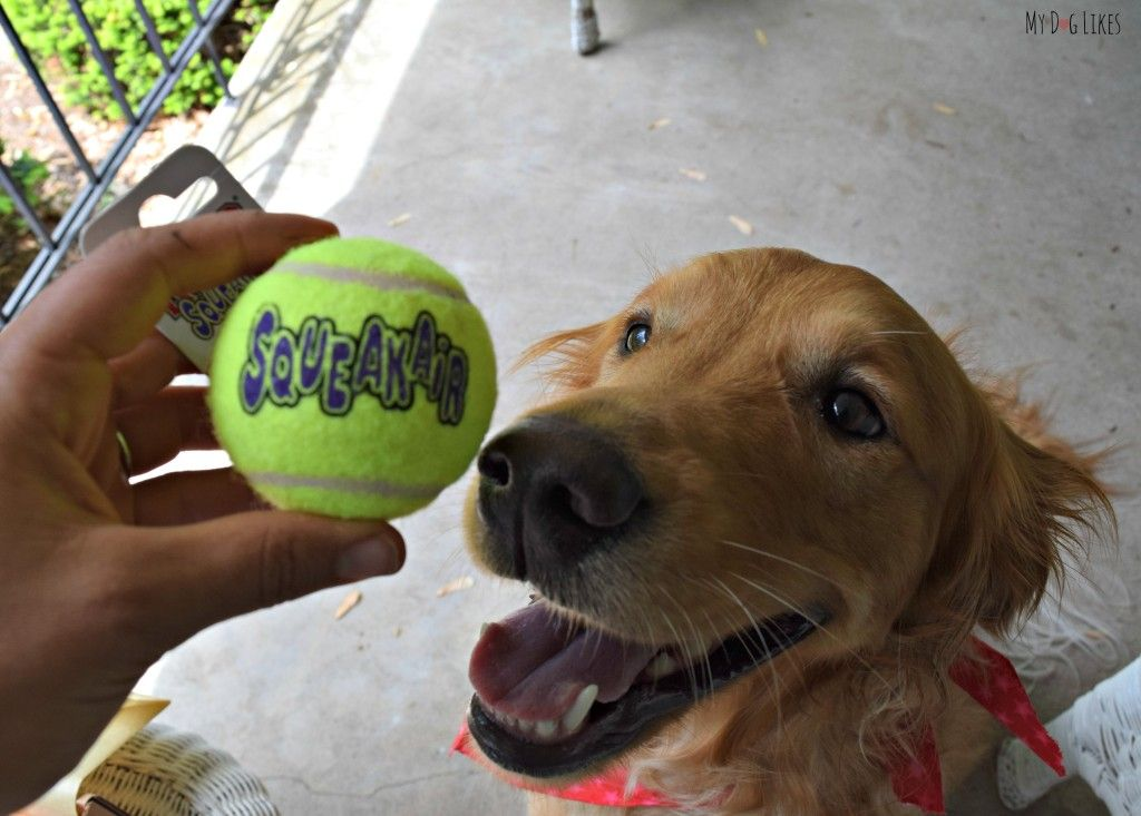 @MyDogLikes loves the @kongcompany SqueakAir Tennis ball - so much tougher than the competition!
