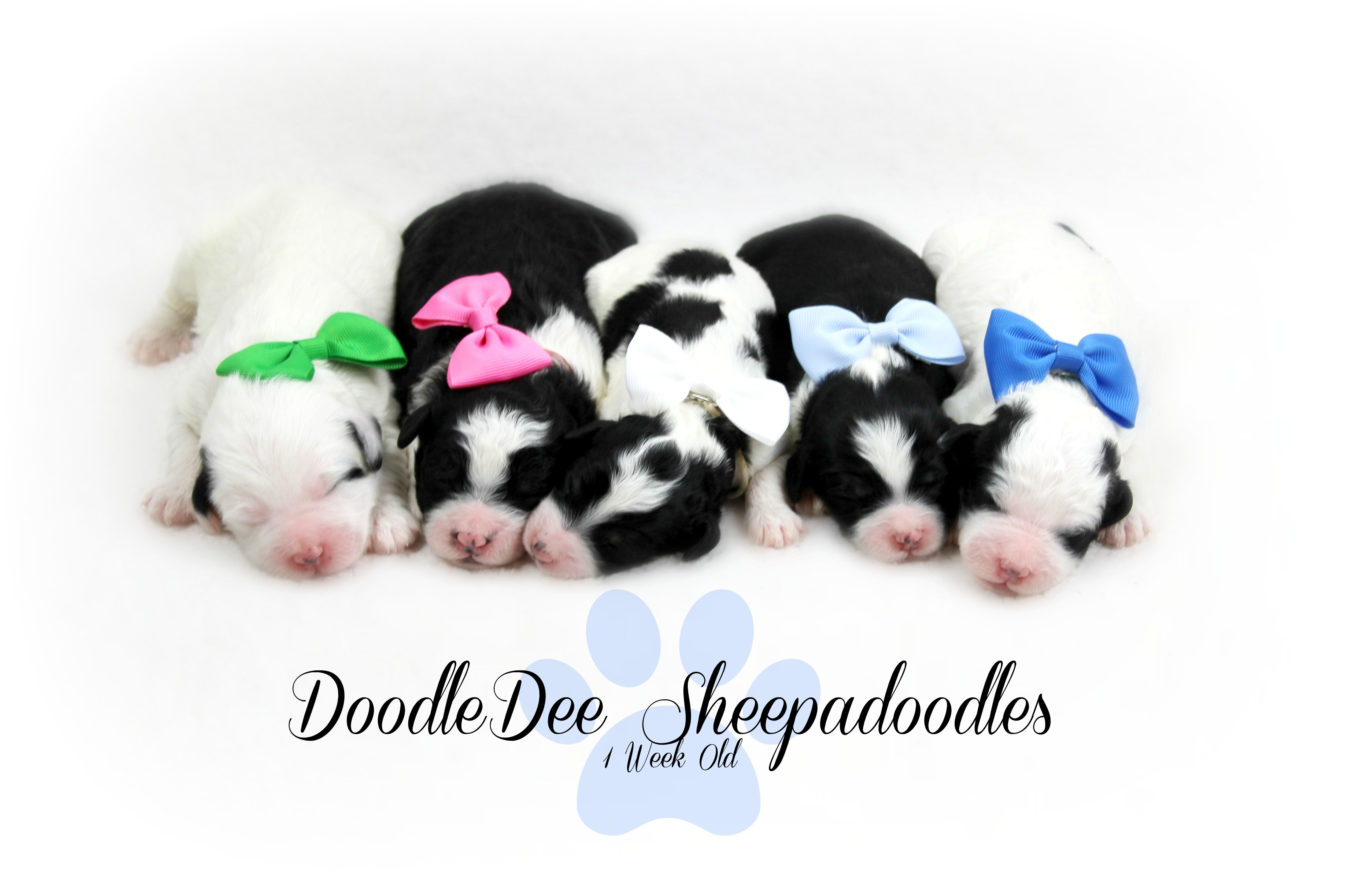Petite and Mini Sheepadoodle Puppies Here! Sable, Phantom