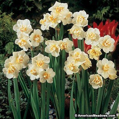 Cheerfulness Double Daffodil Daffodil Bulbs Daffodils Autumn Flowering Plants