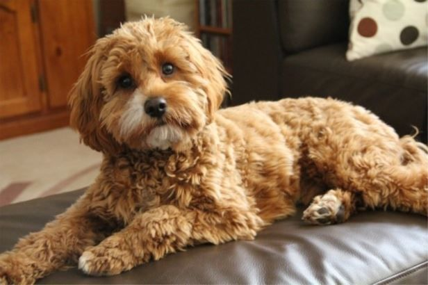 Billabong Creek Farm Red Cavoodle Cavoodle Dog Cavapoo Puppies