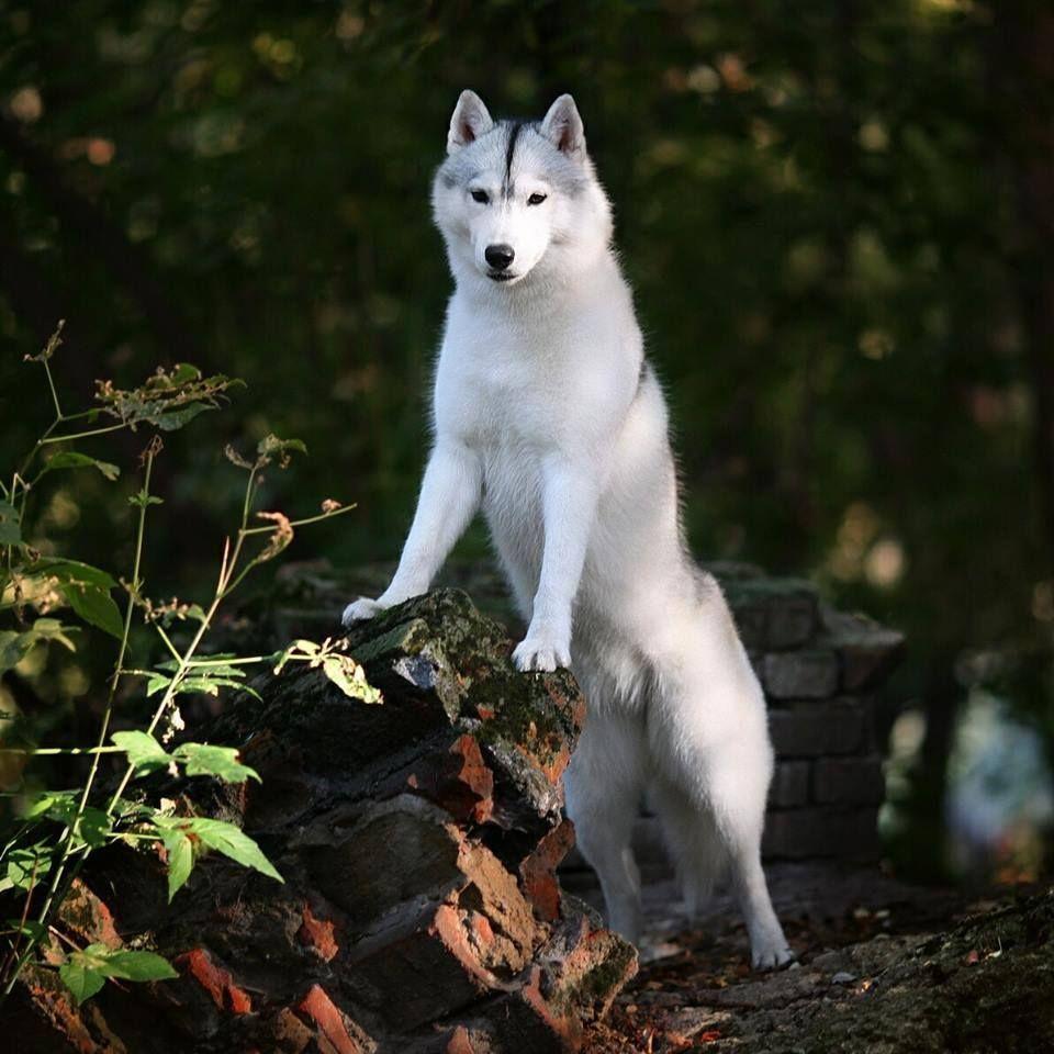Siberian Husky Siberianhusky Alaskan Husky Siberian Husky Dog