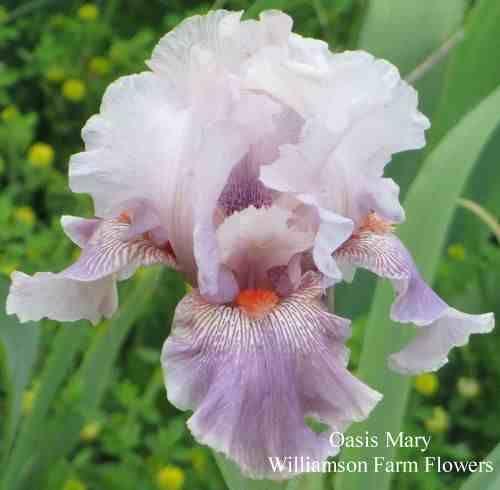 Iris Oasis Mary