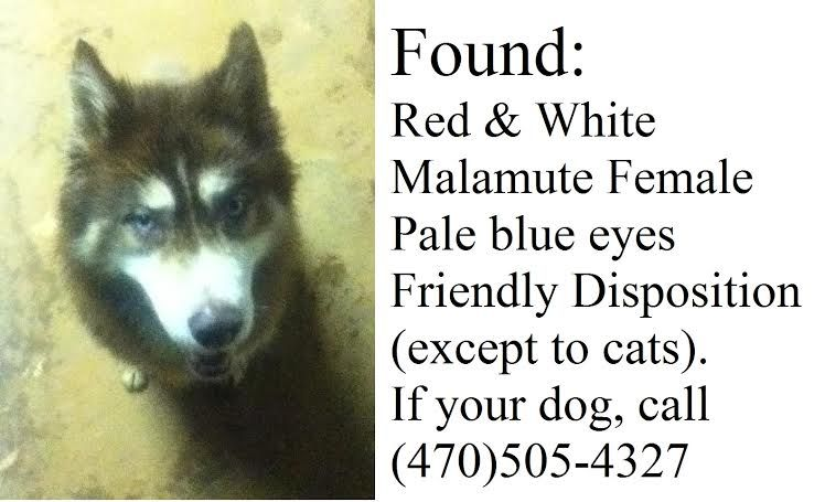 This Red And White Siberian Husky Not A Malamute Was Found On