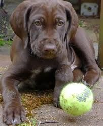 German Short Haired Pointer Puppies Chocolate Brown Google Search German Shorthaired Pointer Pointer Puppies German Short Haired Pointer Puppy