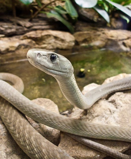 yellow mamba snake - photo #15