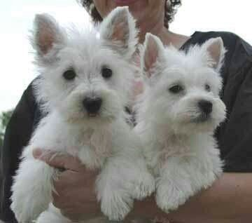 Westies, looks like my girls!