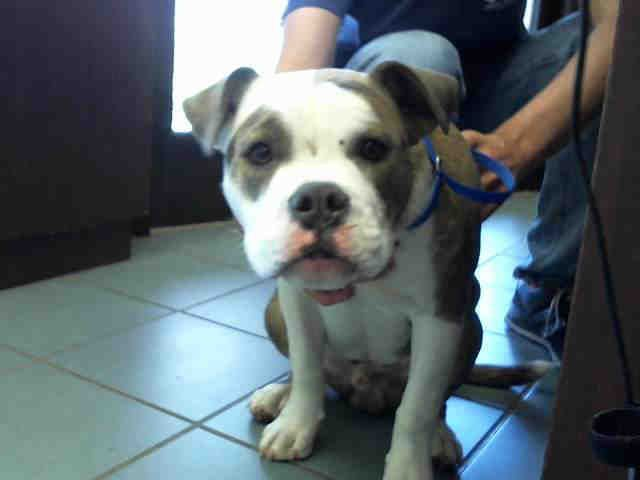 Olde Bulldog dog for Adoption in Nashville, TN. ADN530479