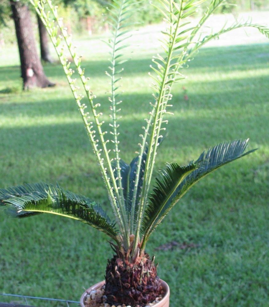 Sago Palm Baby Cycad Cycas Revoluta Live Plant