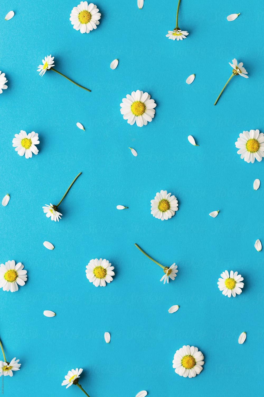 Daisy Background Stocksy United Flowers photography