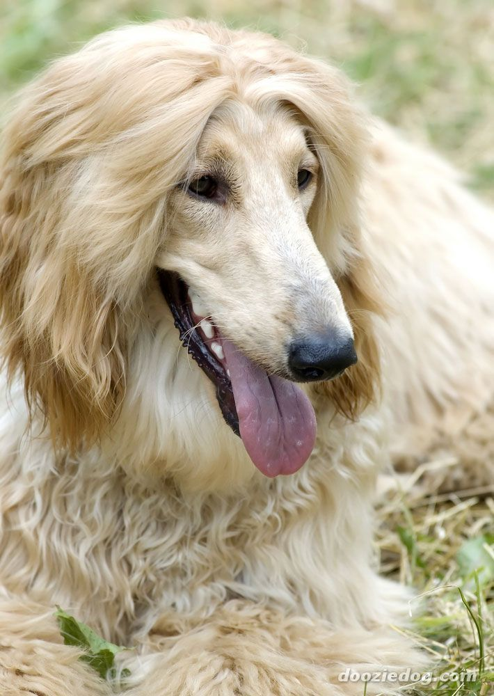 Afghan Hound From Wiki Old Breed Originated In Afghanistan