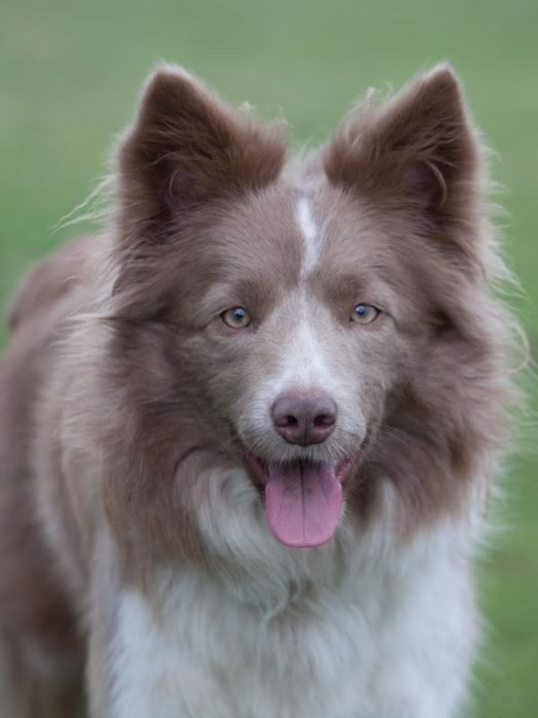 Brown White Cute Dogs Breeds Border Collie Lilac Collie Puppies