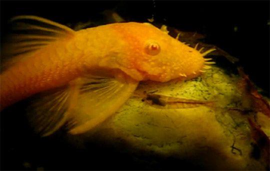 Albino Bristlenose Pleco Algae Eater Fish Aquarium Recipeapart Fish Aquarium Fish Fish Pet