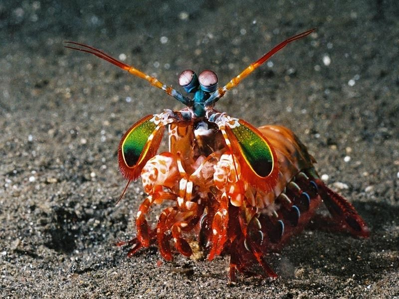 Mantis Shrimp. These creatures are quite amazing, we have three color cones, they have 16.