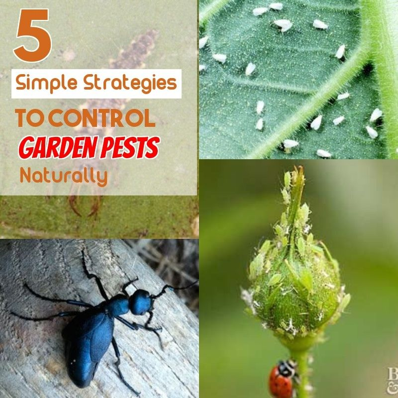 Safe And Effective Ways Of Natural Pest Control Garden Pests Natural Pest Control Organic Insecticide