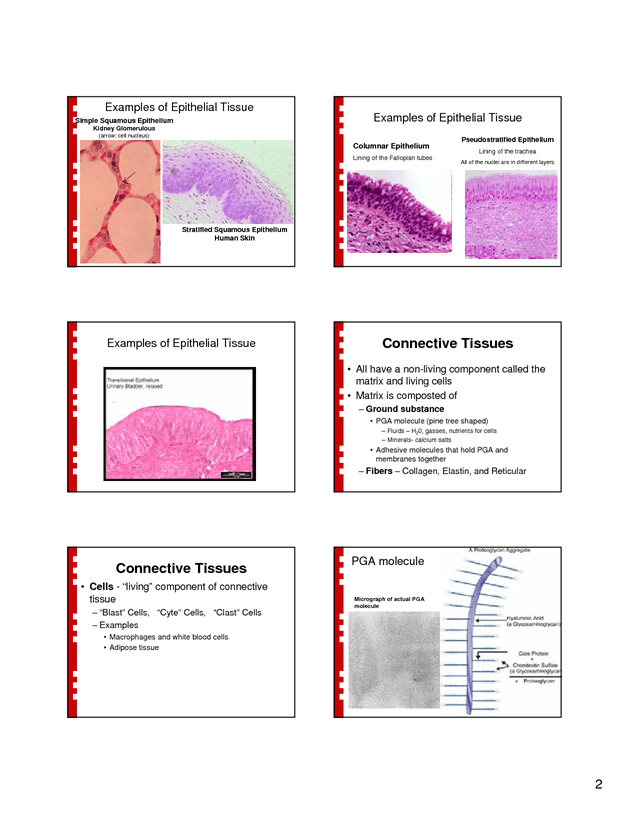 Human Tissue Types Tissue Basics Epithelial Tissues Epithelial ...