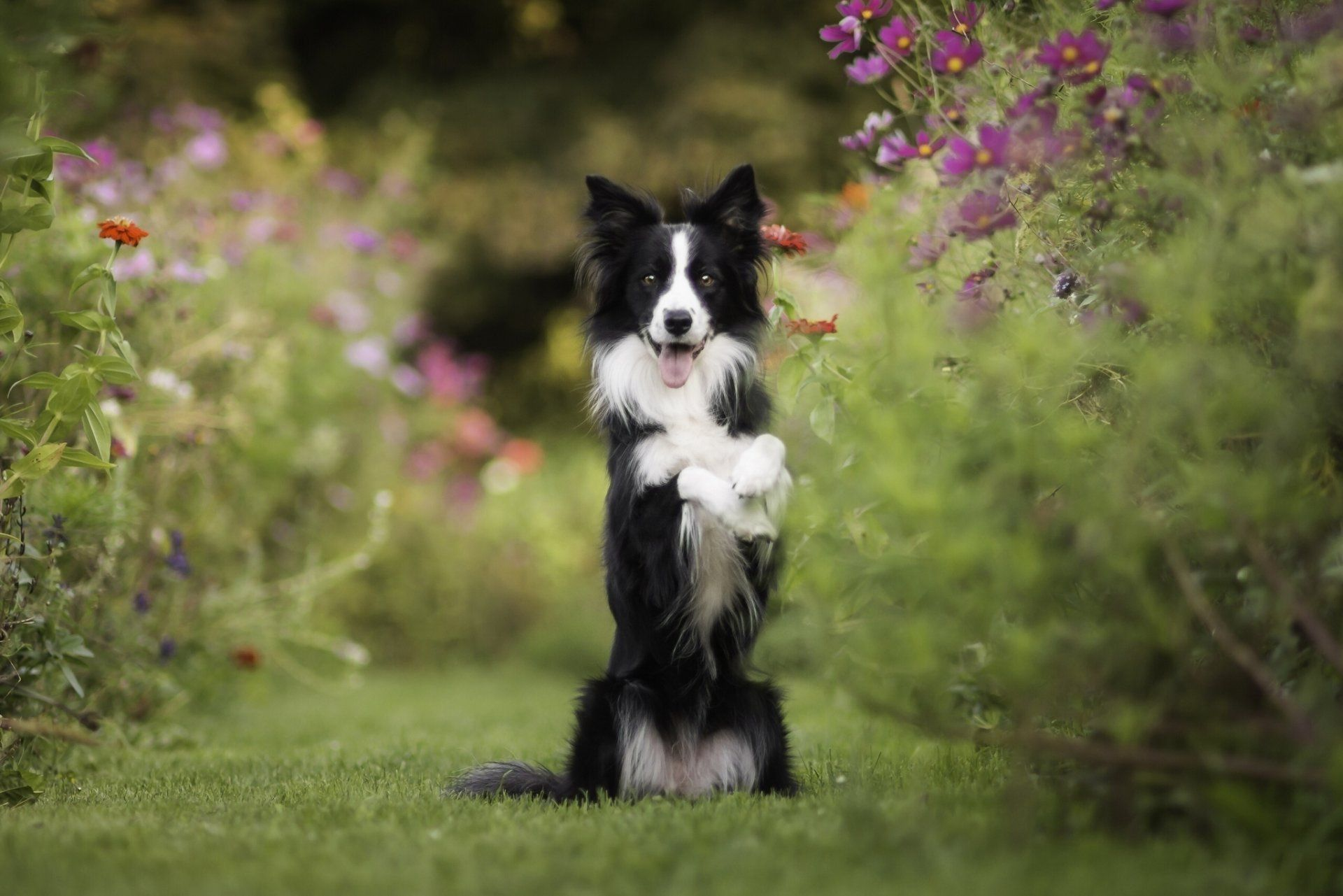 73 border collie hd - photo #13