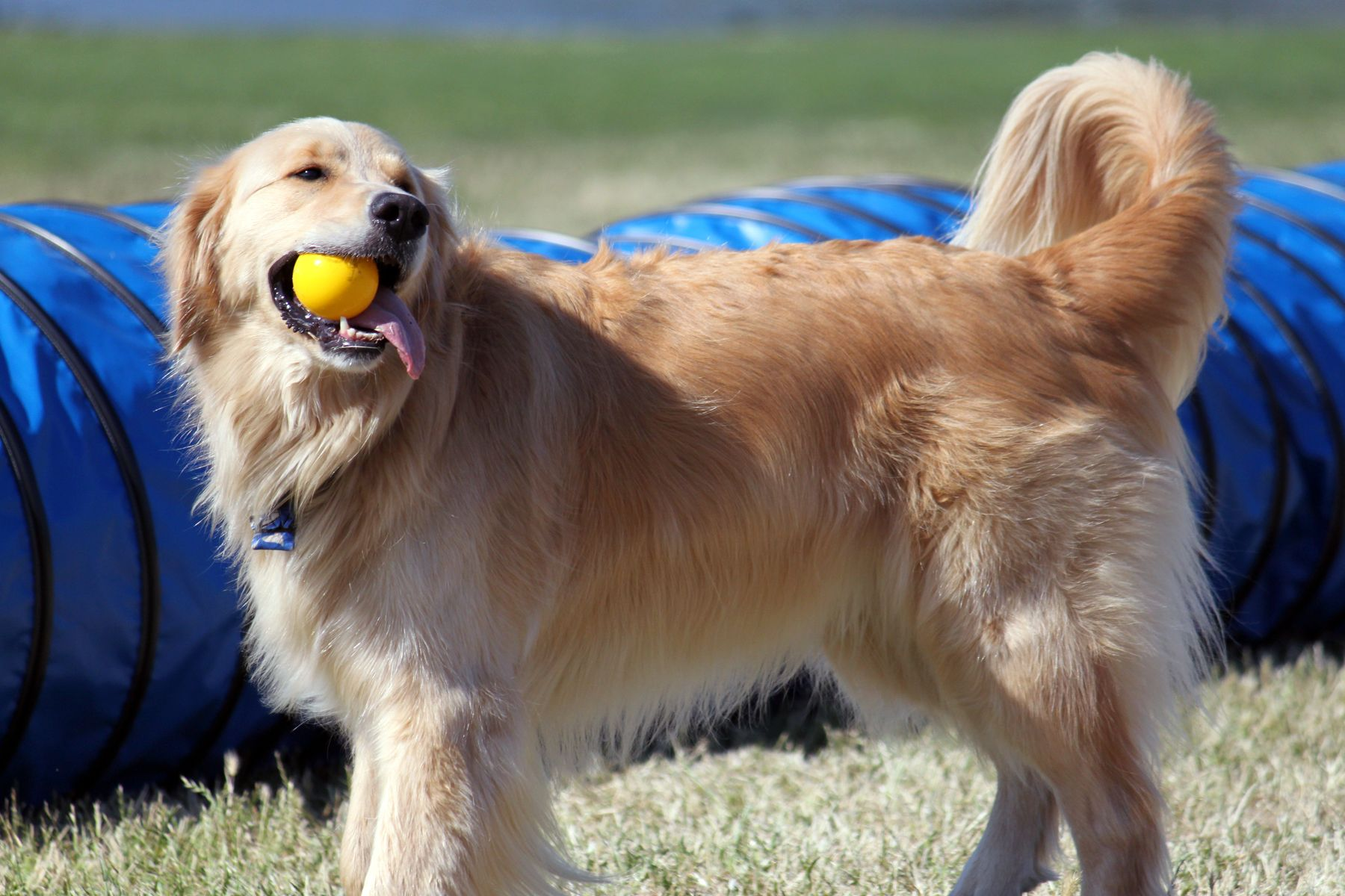 Toby (Golden Retriever) Golden retriever, Doggy, Bow wow