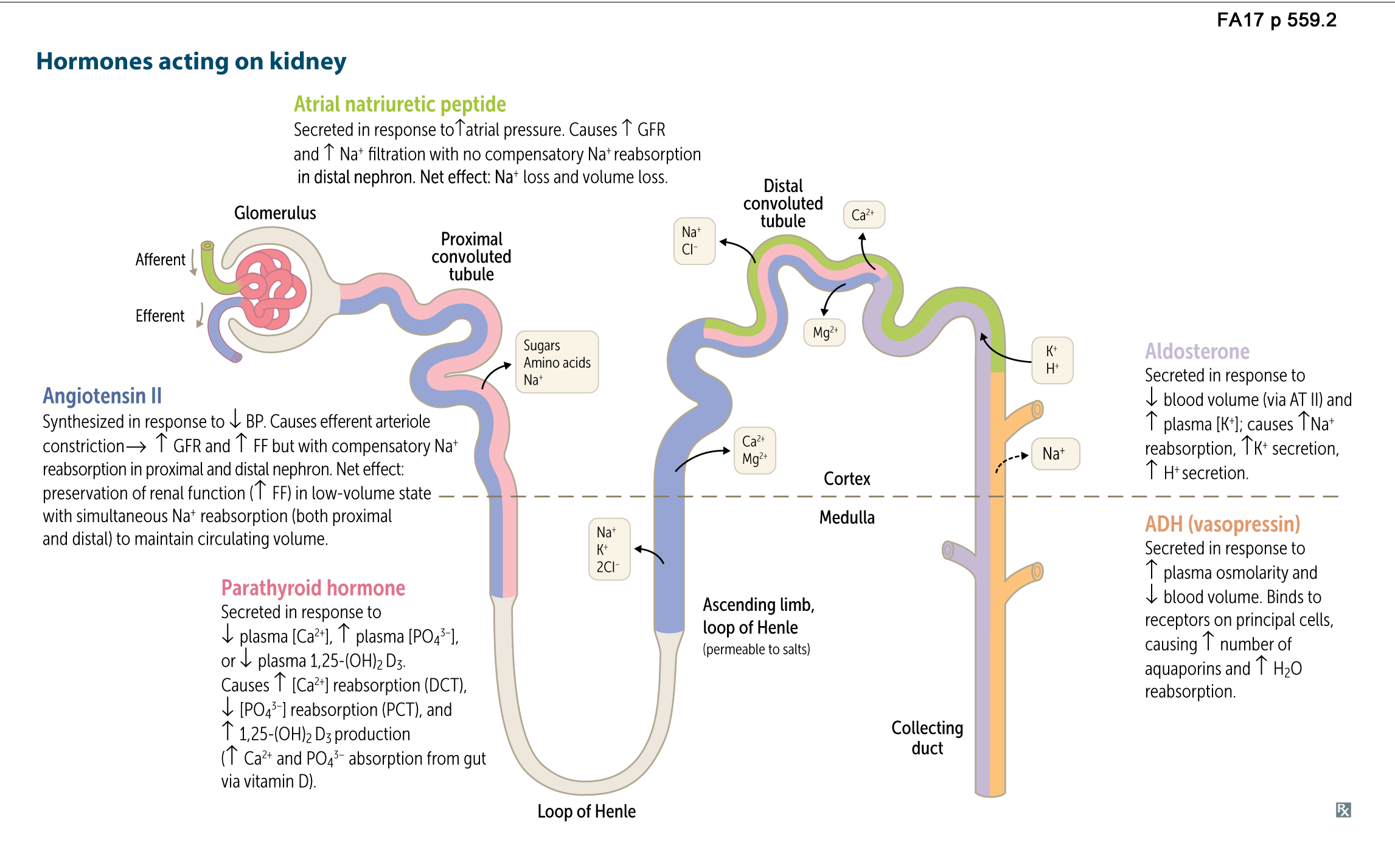 Aldosterone And Nephron