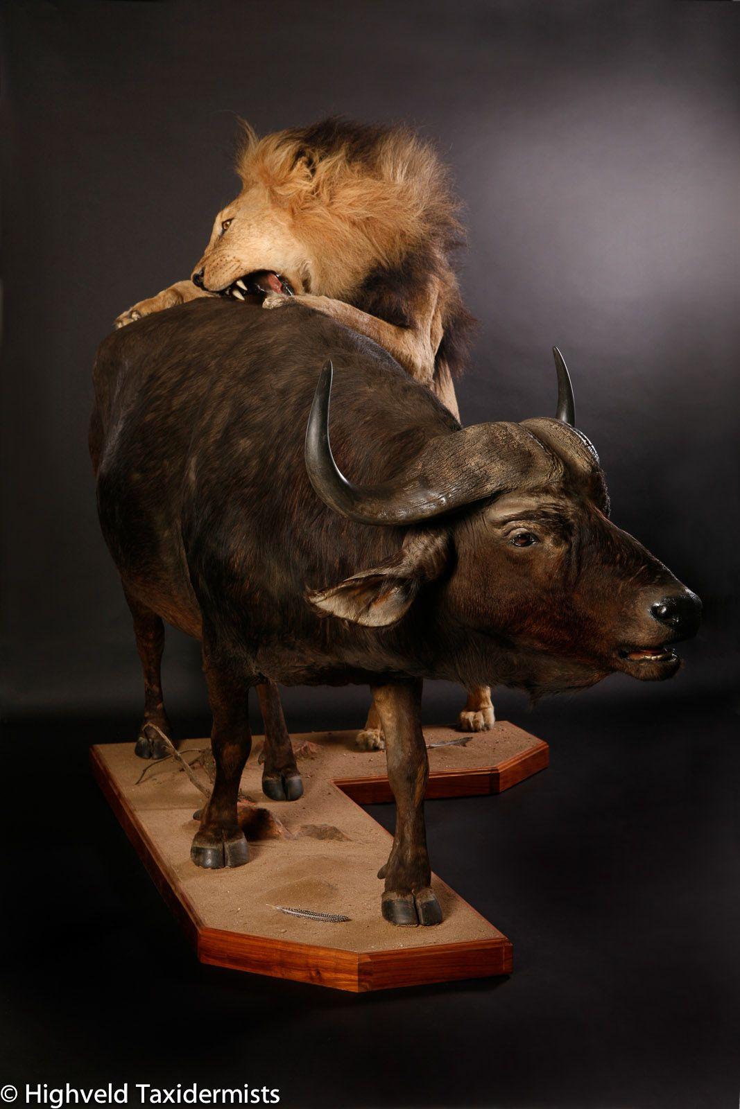 Lion-and-Buffalo-scene