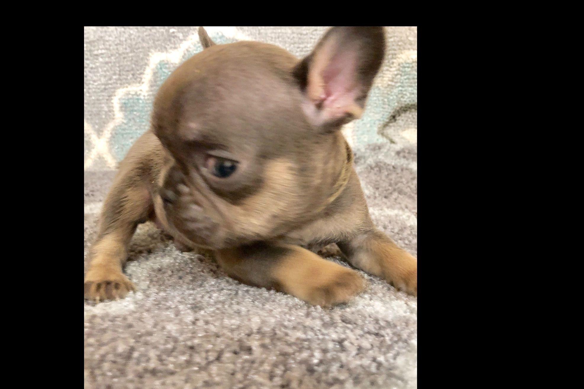 Doris A Vin Elegantfrenchies Has French Bulldog Puppies For Sale