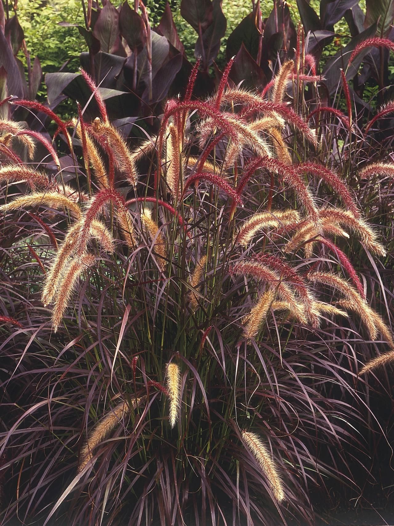 Types of ornamental grasses diy garden projects garden for Tall purple ornamental grass