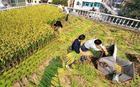 Chinese Man Grows Rice On Roof